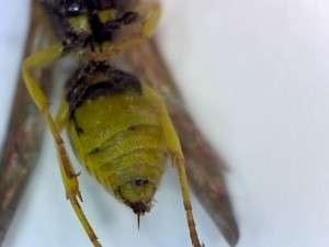 Eumenid wasp abdomen with stinger