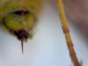 Eumenid wasp stinger