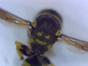 Eumenid wasp thorax