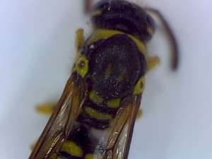 Eumenid wasp thorax
