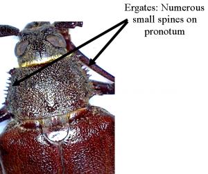 Ergates spines