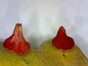 Valley Oak Leaf galls