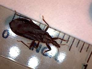 Kissing bug on a ruler