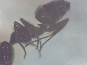Liometopum luctuosum, the pine tree ant, close-up of thorax and abdomen