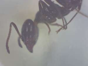Liometopum luctuosum, the pine tree ant, head