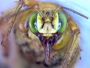 The face of the MALE valley carpenter bee. Note the green eyes.
