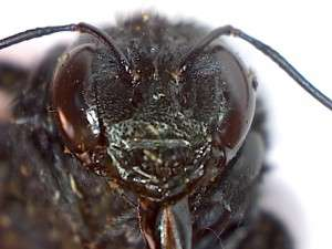 Face of Female Valley Carpenter Bee (2)