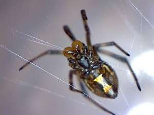 Juvenile male western black widow 1