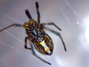 Comb-footed spider 2