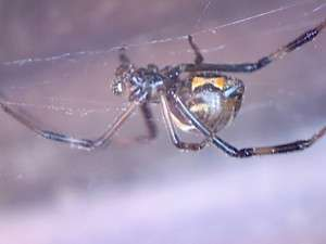 Juvenile male western black widow