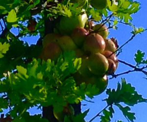 Oak_apples_2_Cooper