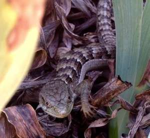alligator_lizard_Cooper