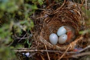House finch nest after first chick hatched. 28 April 2015. Photo by Alice Anderson.