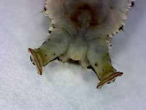 Tiger moth larvae