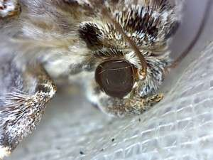tiger moth head
