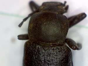 Live oak cluster beetle, Cibdelis blaschkei