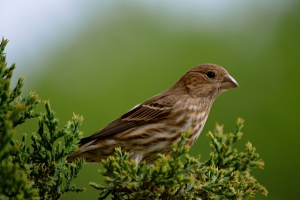 Momma_finch_16_April_2015