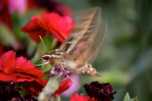 White-lined sphinx moth, Sonora California, 21 April 2015. Picture by Alice Anderson.