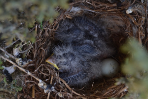 Baby house finches on 5 May 2015