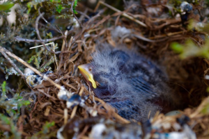 Baby house finches 5 May 2015