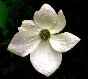 Dogwood blossom. 7 May 2015. Paul Cooper