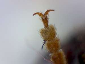 Neoclytus conjunctus, Twain Harte CA
