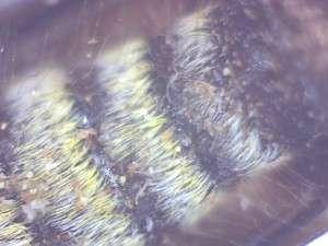Neoclytus conjunctus, Twain Harte CA, ventral view