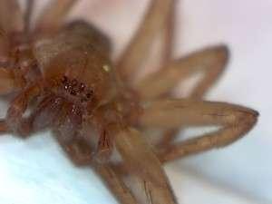 female Titotus