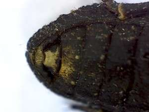 Ironclad beetle, ventral view, tip of abdomen