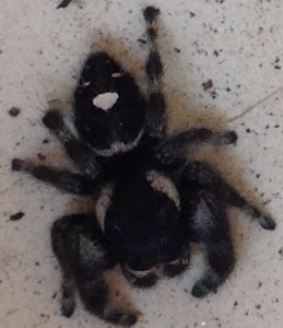 Phidippus audax, jumping spider. Madera Ca. Image by Paul Cooper, 25 May 2015.