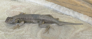 This western fence lizard that has taken up residence on an outside sofa, has a broken tail.