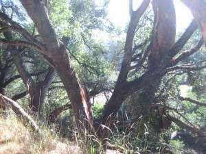 Valley Oak lost a large lateral branch at 10:45 pm, 25 June 2015. Gold Springs, Columbia Ca. The huge branch got caught in an adjacent live oak, causing the live oak to split.