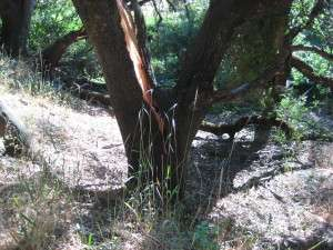 Close-up of the split live oak caused by the falling Valley Oak branch. branch fell at 10:45 pm, 25 June 2015. Gold Springs, Columbia Ca.