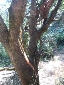 Close-up of split in interior live oak tree caused when the giant valley oak branch landed in it.