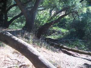 In a dominoes fashion, the large lateral valley oak branch appears to have first landed on a branch of a live oak, which held it for a moment, then the supporting branch broke and the valley oak lateral crashed in the center of the live oak. Break occurred 10:45 pm, 25 June 2015. Gold Springs, Columbia Ca.