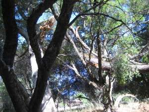 A large branch from a giant Valley Oak tree broke off about 10:45 pm, 25 June 2015, in Gold Springs, Columbia Ca. It landed in an adjacent live oak tree, causing a big rip in the live oak.