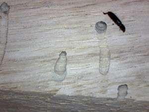Powder Post Beetle exit holes