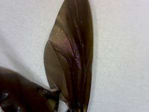 spider wasp mimic fly wing