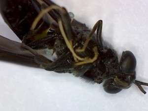 spider wasp mimic fly ventral view