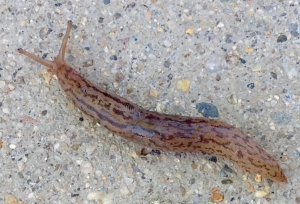 Threeband garden slug. Lehmannia valentiana . Image By Paul Cooper. 12 June 2015. Thanks to Dr. Rory Mc Donnell for the ID.