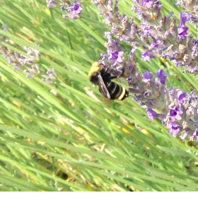 Bumblebee on lavender, Paul Cooper, 8 July 2015.
