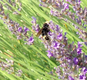 Bumblebee on lavender, Paul Cooper, 8 July 2015.