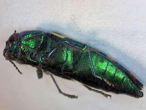 Metallic wood boring beetle, July 2015, Collected by Steve Deaver, Twain Harte, California
