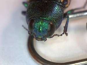 Metallic wood boring beetle, July 2015, Collected by Steve Deaver, Twain Harte, California. That is a paper clip it is resting on.
