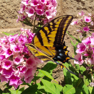 Swallowtail butterfly, Paul Cooper, 14 July 2015, Calaveras County CA