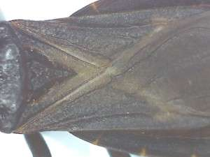 Detail of wing cover of kissing bug, dorsal view.