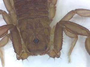 Live specimen, vaejovid scorpion. Sonora Ca, 2 August 2015