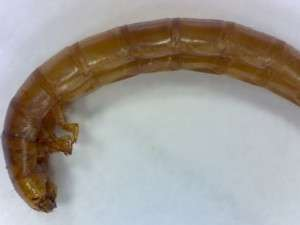 tenebrionid larvae