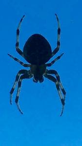 English Spider.