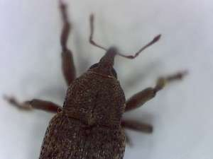 Probable Black Vine Weevil